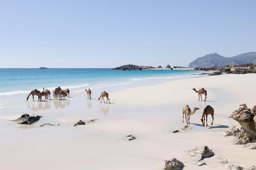 Fernweh_Oman_Kamele-am-Beach_web