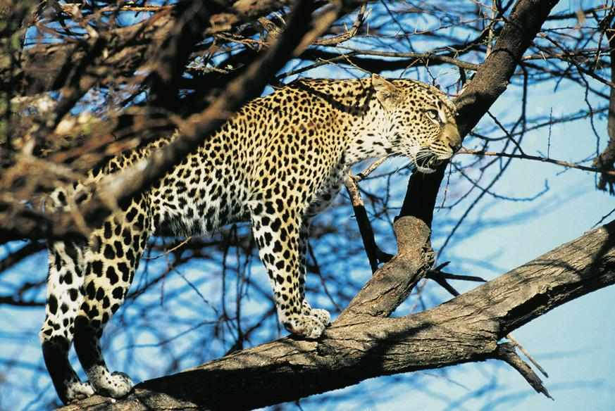 SSC-Leopard-1_web